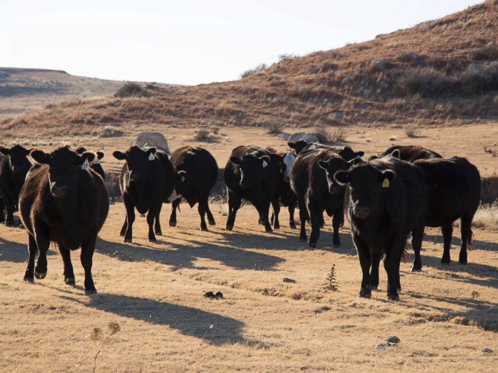 PHOTO: Cattle play a major role in the economy of Roberts County.