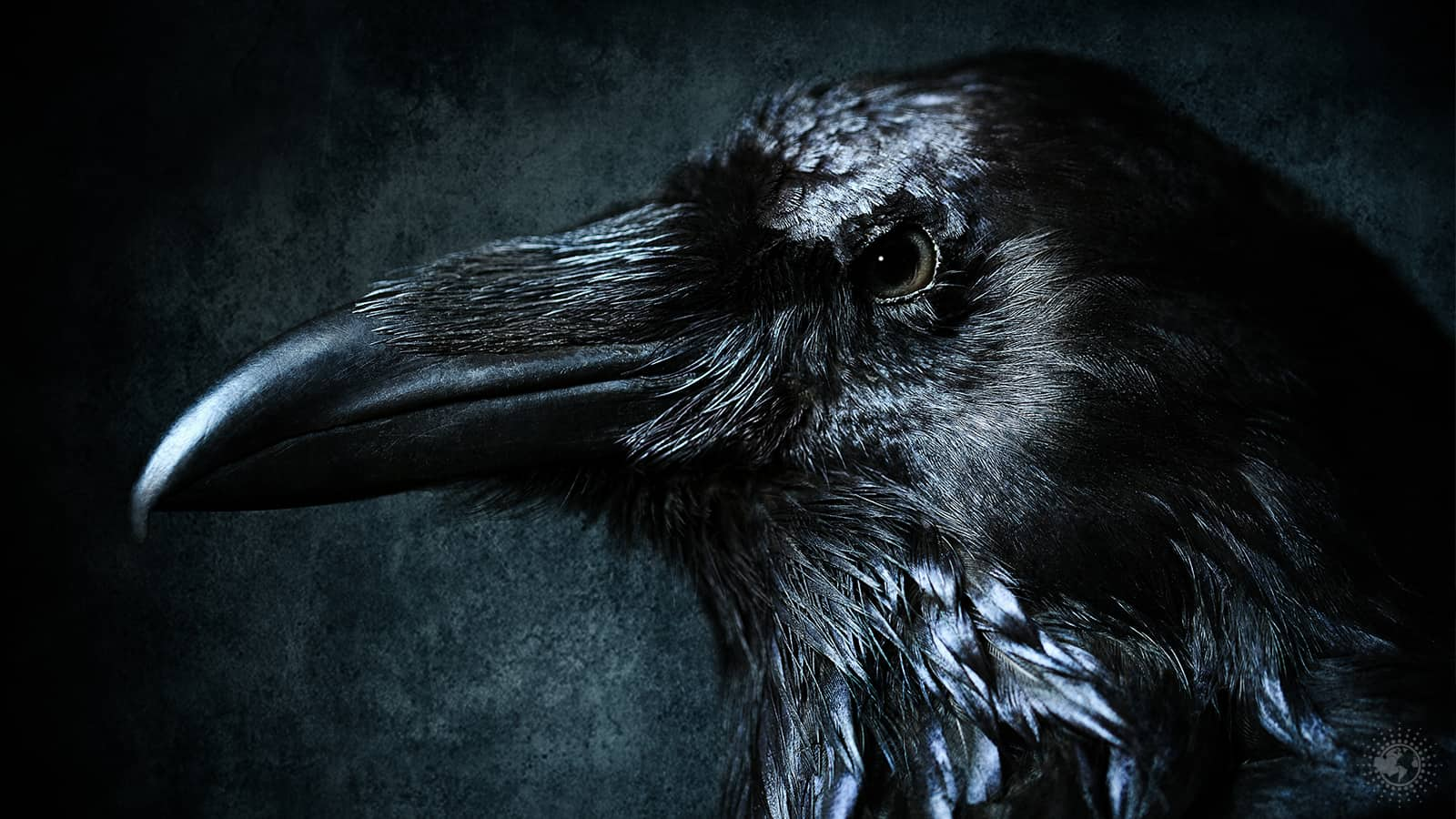 If You See Ravens Often, This Might Be Why